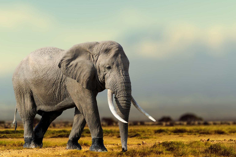 African Elephant, Masai Mara National Park, Kenya.